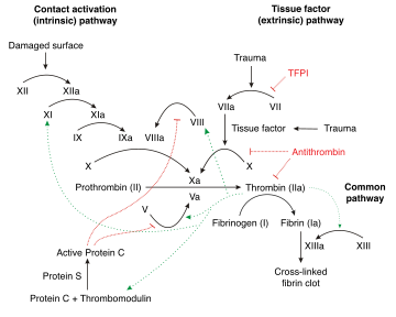 Schematic diagram of the blood coagulation and protein C pathways. In the  blood coagulation pathway