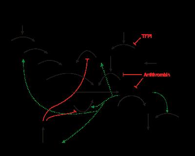 The coagulation cascade.