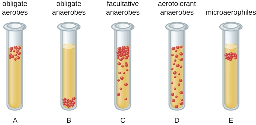 A diagram of bacterial distribution in tubes. Tube A shows obligate aerobes  which grow at