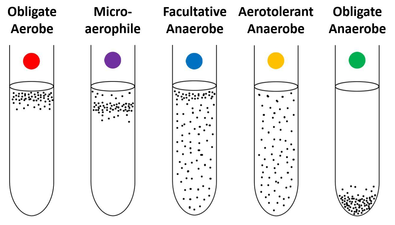 Examples of Facultative Anaerobes