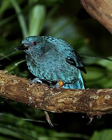 Fairy bluebird female.jpg