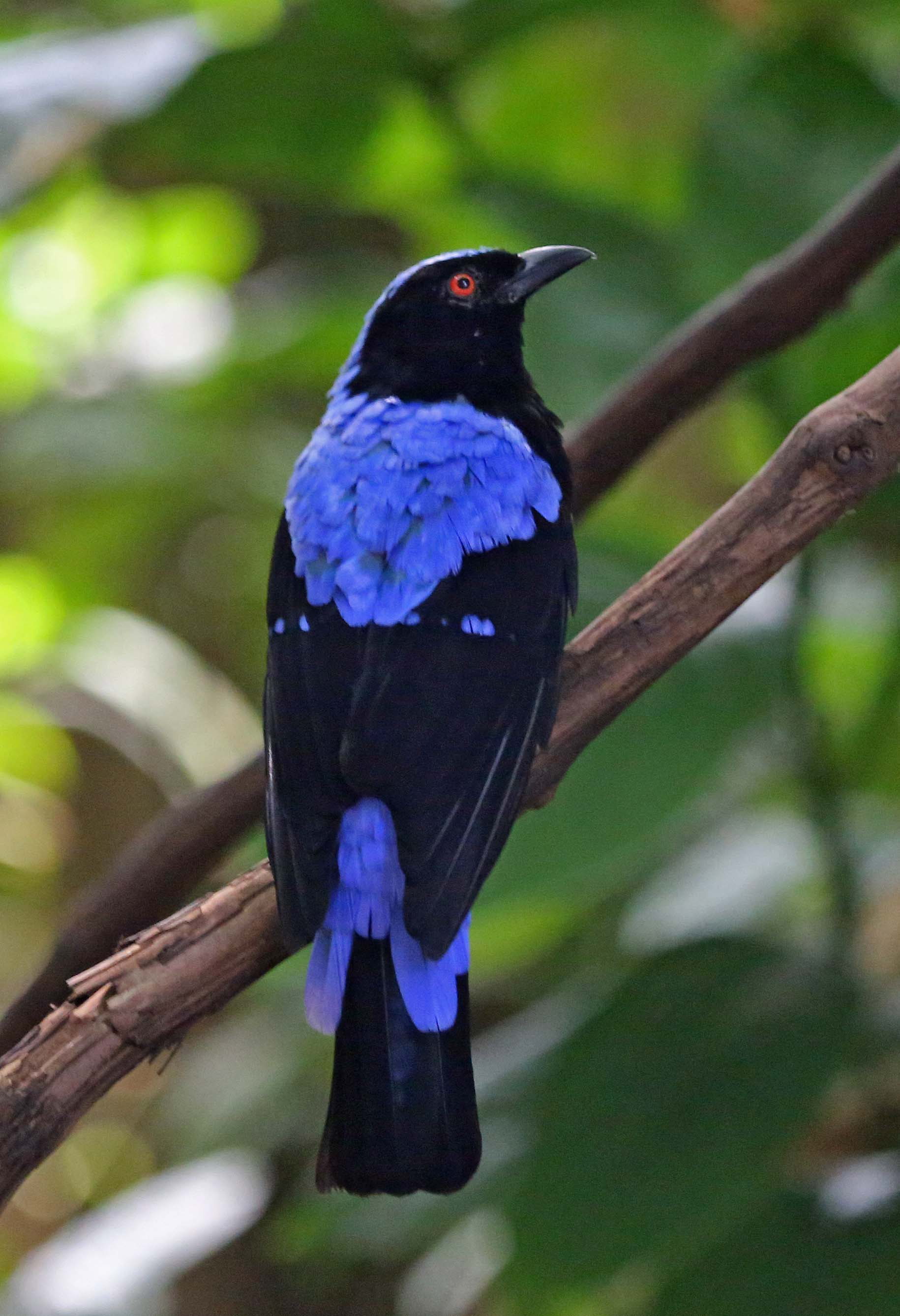 Picture/image of Asian Fairy-bluebird