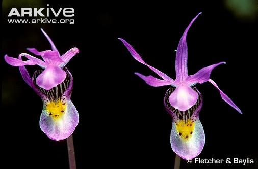 Fairy slipper orchid flowers