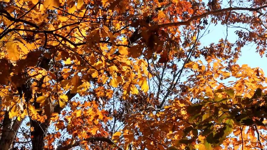 Leaves Rustling in Fall Wind