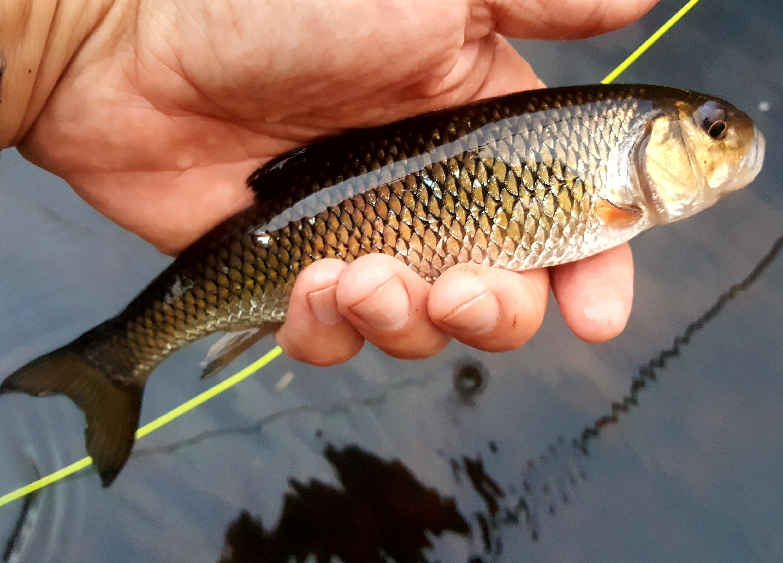 Fallfish Streams