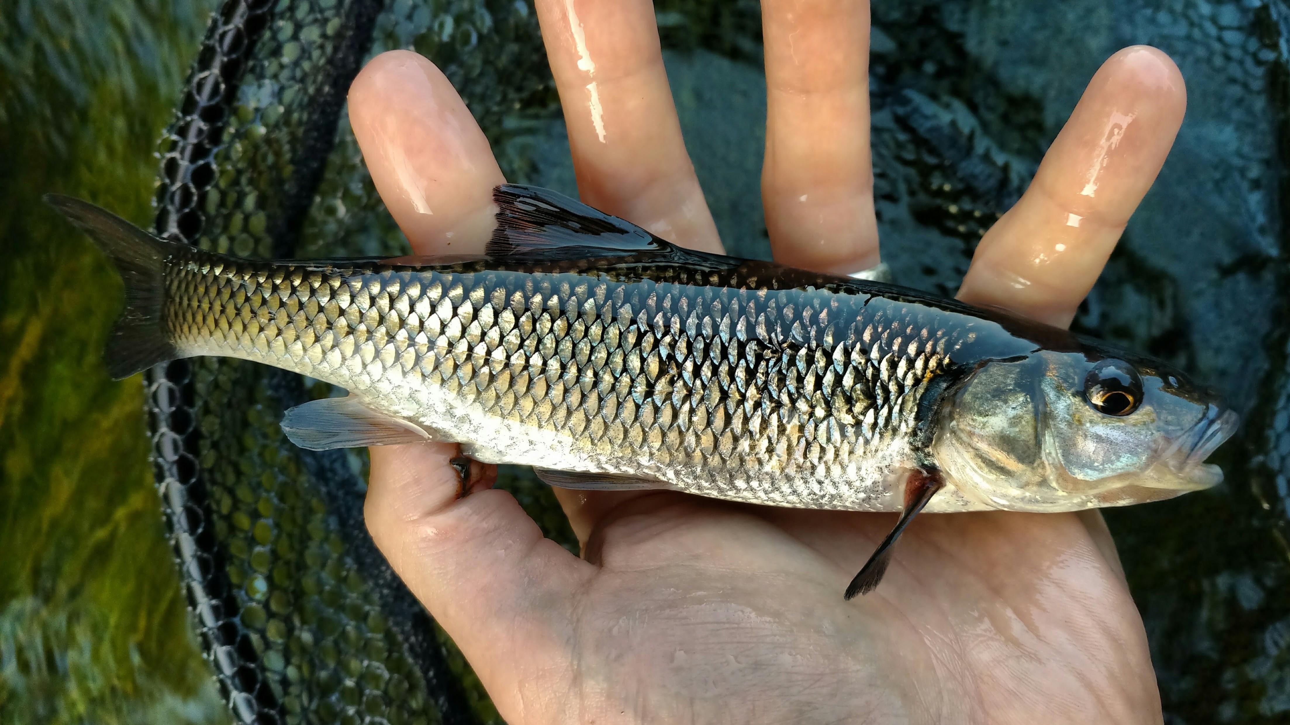 File:Nashua River Fallfish.jpg