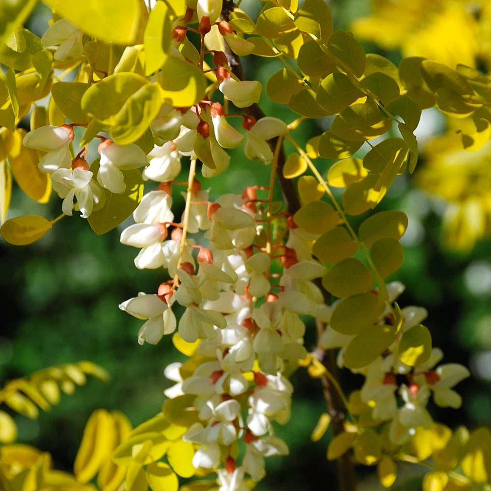 Robinia pseudoacacia &#039