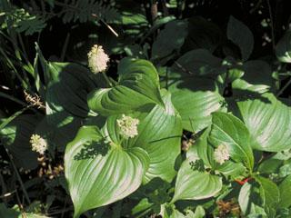 Maianthemum dilatatum (False lily of the valley)