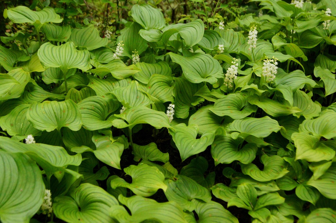 False lily-of-the-valley (Maianthemum dilatatum)