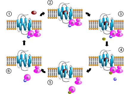 Activation cycle of G-proteins (purple) by a G-protein-coupled receptor  (GPCR, light blue) receiving a ligand (red). Ligand binding to GPCRs (2)  induces a