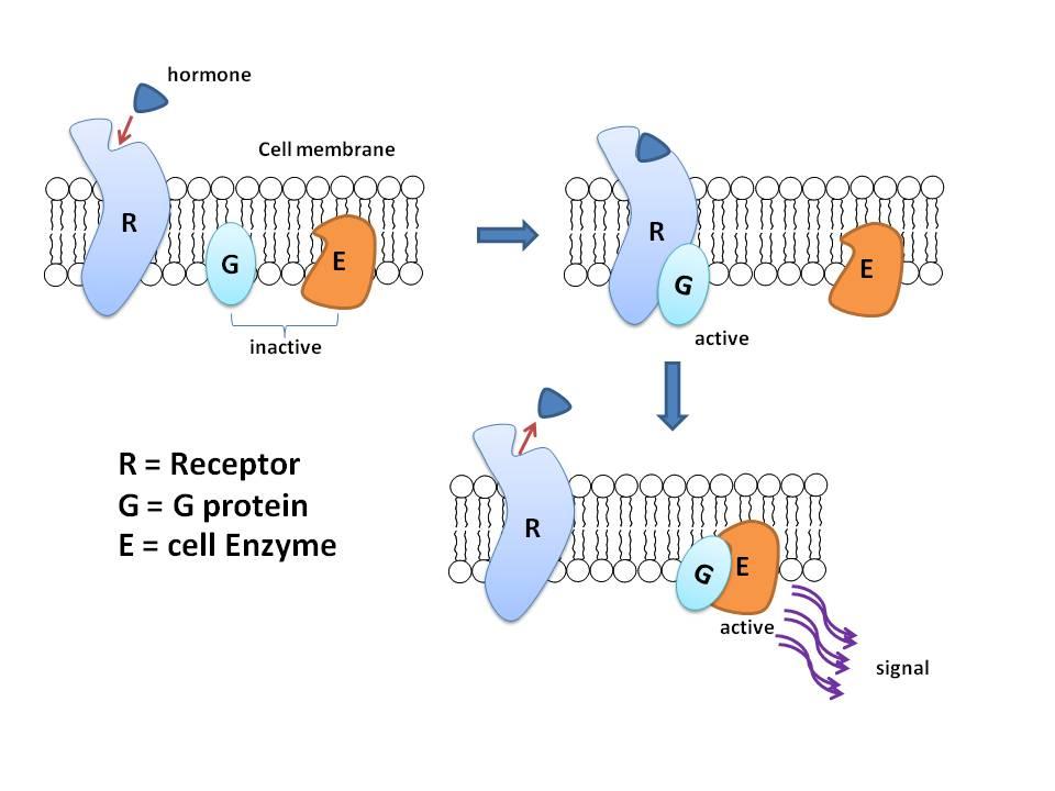 G protein.jpg