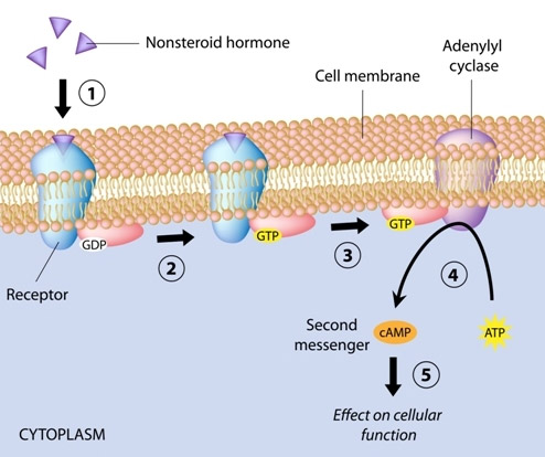 there is another category of endocytosis that works a similar way:  receptor-mediated. One type of the receptor-based category uses the G  protein coupled