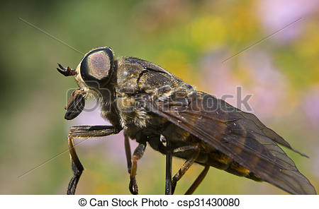 peligroso, insecto, -, gadfly - csp31430080