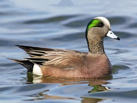 American Wigeon Breeding Male is similar to Gadwall