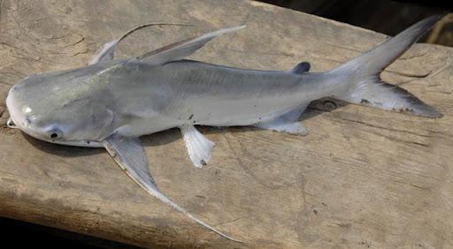 gaff-topsail catfish