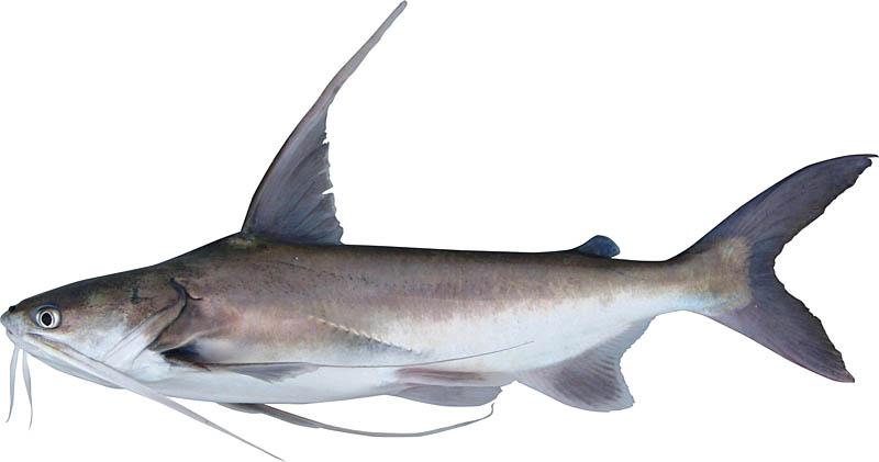 Fishing for Hardhead Catfish