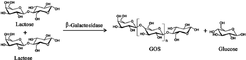 Simplified enzymatic reaction to produce Galacto-oligosaccharides (GOS)  from lactose using β -