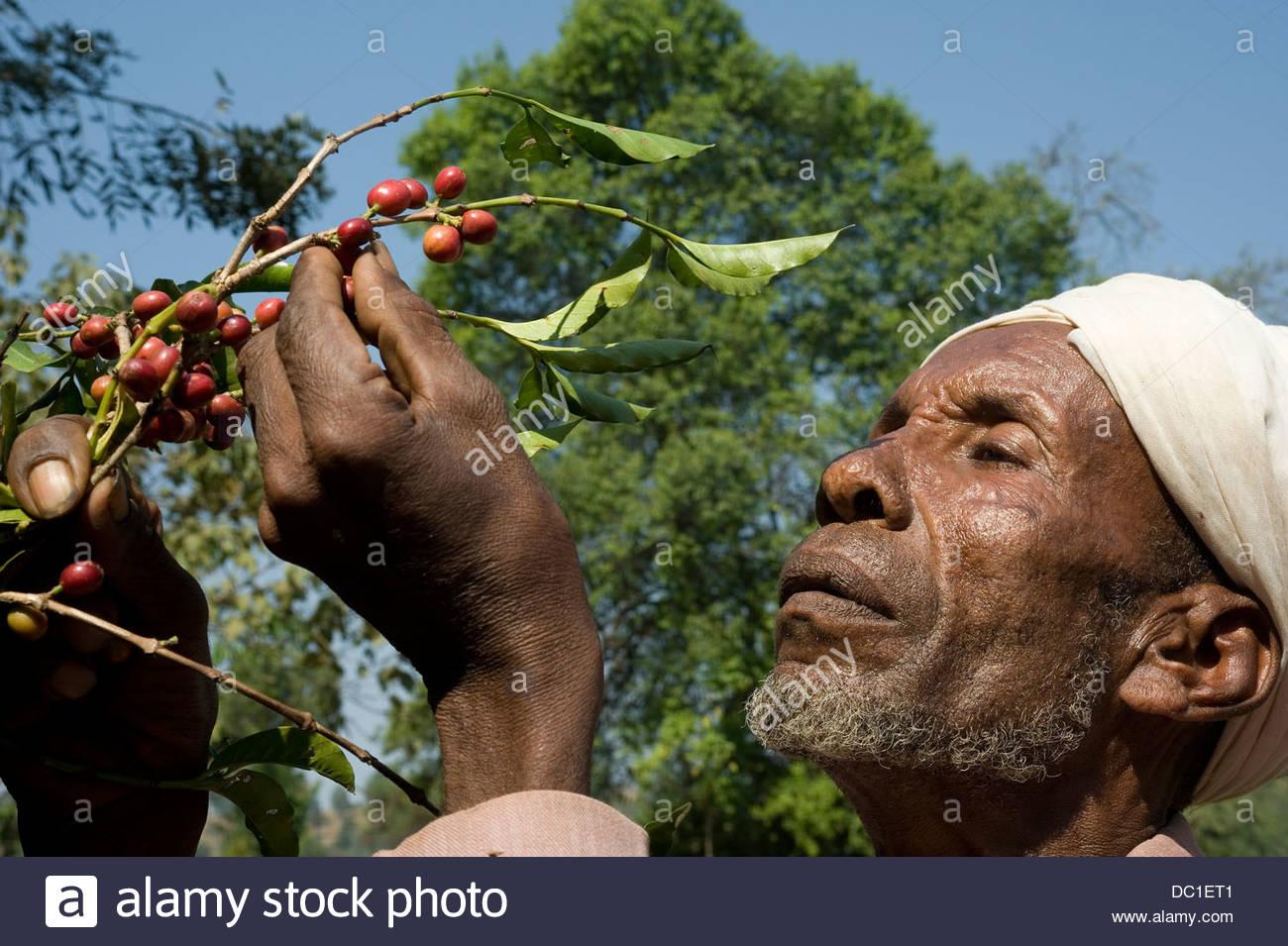 Ethiopia, District: Limu Seku, Zone: Jimma, Village: Dego Galcha. 9 January  2010: Picking the coffee cherry.