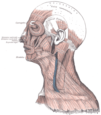 Músculos de la cabeza, cara, y cuello. La galea aponeurótica es visible en  la parte superior.