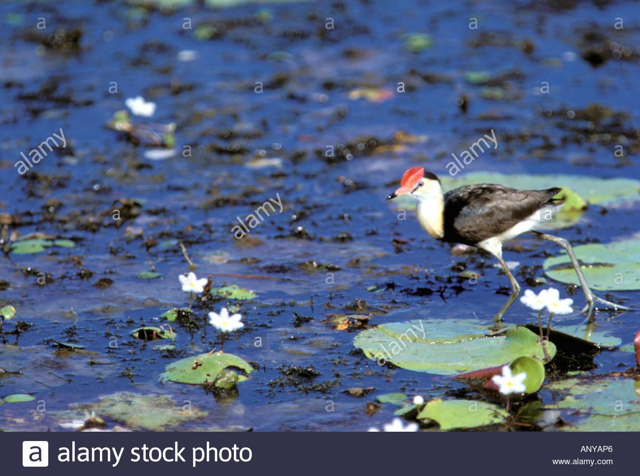 Australia, el Río Ord. Peine Crested Hacana (Iredipatra gallinacean) y  waterlillies (Nymphoides indica)