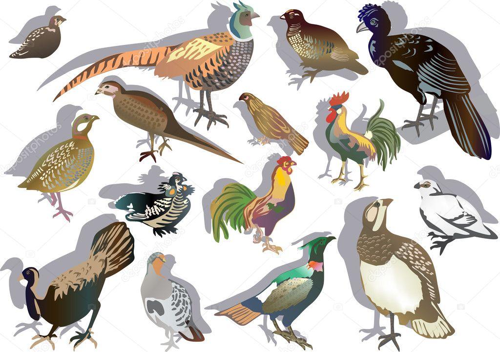 Fifteen gallinaceous birds — Stock Vector