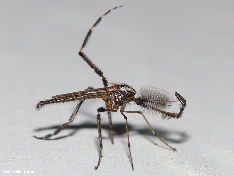 Gallinipper/Galinipper Mosquito (Psorophora ciliata) male
