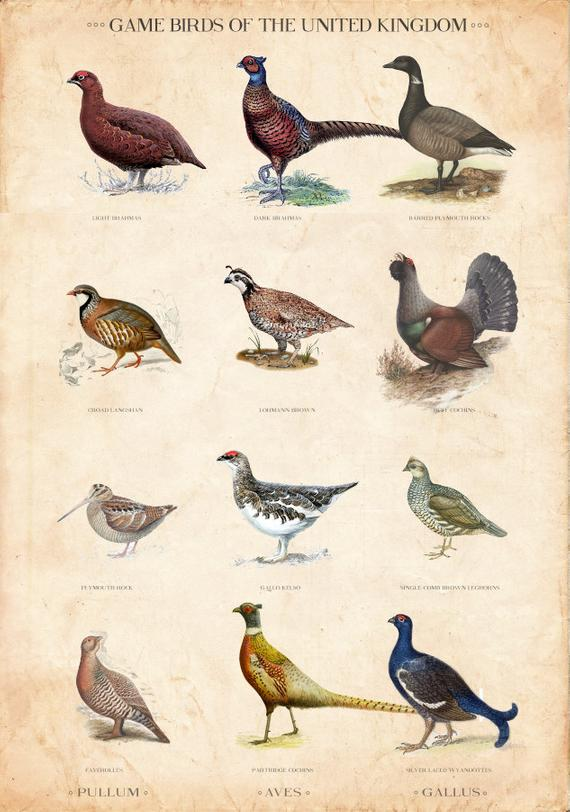 Vintage British Game Bird Chart Limited Edition Art Print