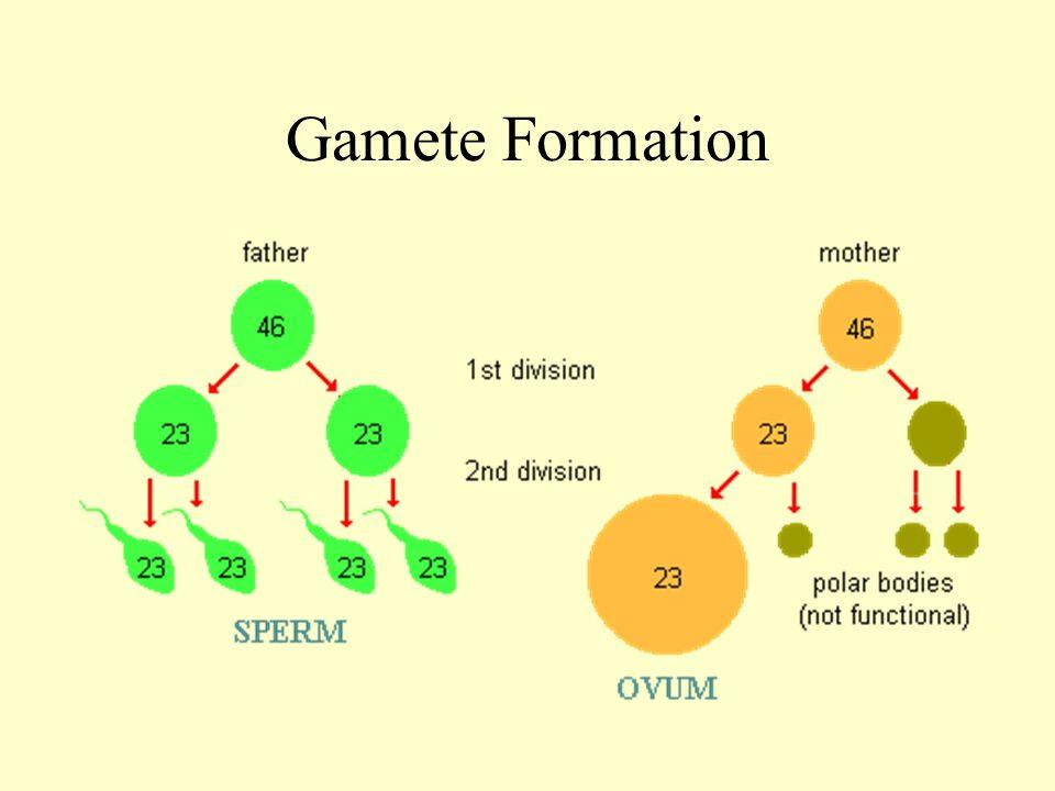 4 Gamete Formation
