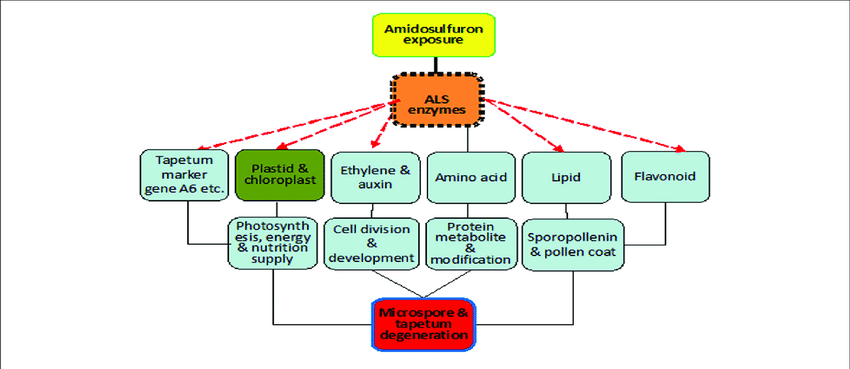 Scheme of mode of action for gametocide amidosulfuron. Inhibition of ALS  activity disturbs amino acid metabolism directly and destructs plastid and