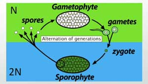 Gametophyte to Sporophyte Cycle