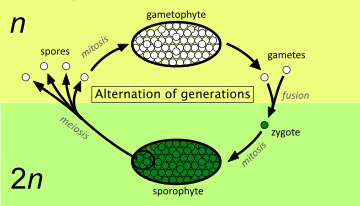 Diagram showing the alternation of generations between a diploid sporophyte  (bottom) and a haploid gametophyte (top)