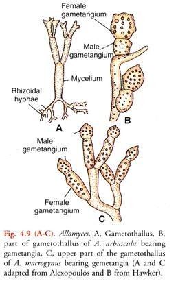 Allomyces