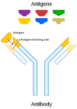 Antibodies or immunoglobulins are gamma globulin proteins that are found in  blood or other bodily fluids of vertebrates.