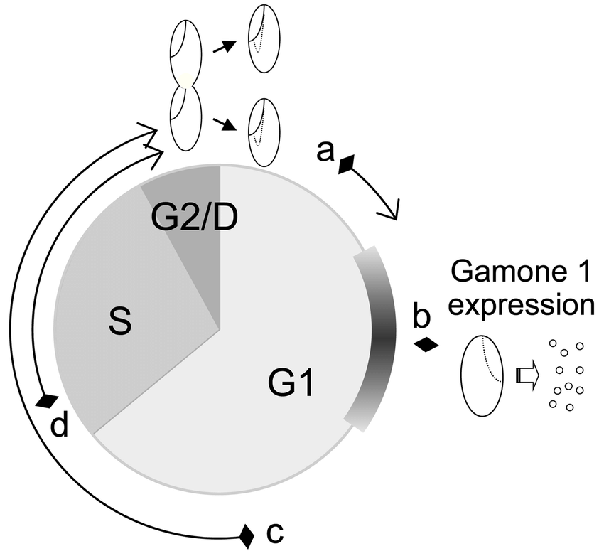 The cell cycle and gamone 1 expression: A presumptive scheme. A presumptive  cell cycle of Blepharisma is shown according to Minutoli and Hirshfield  (1968).