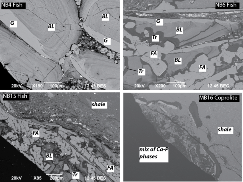 Sample NB4 (upper left) contains well-preserved scales with ganoin (G) and  bony lamellar (BL) components. The mineralogy and structure of the scales