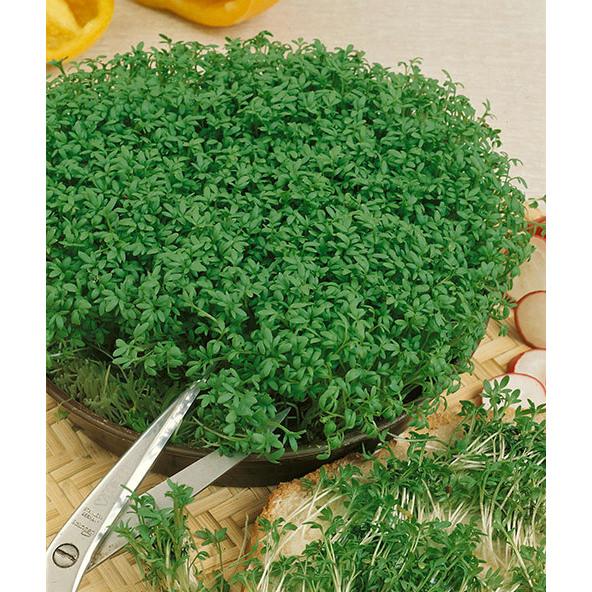 Curled Garden Cress
