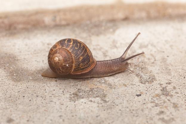 Garden Snail Facts