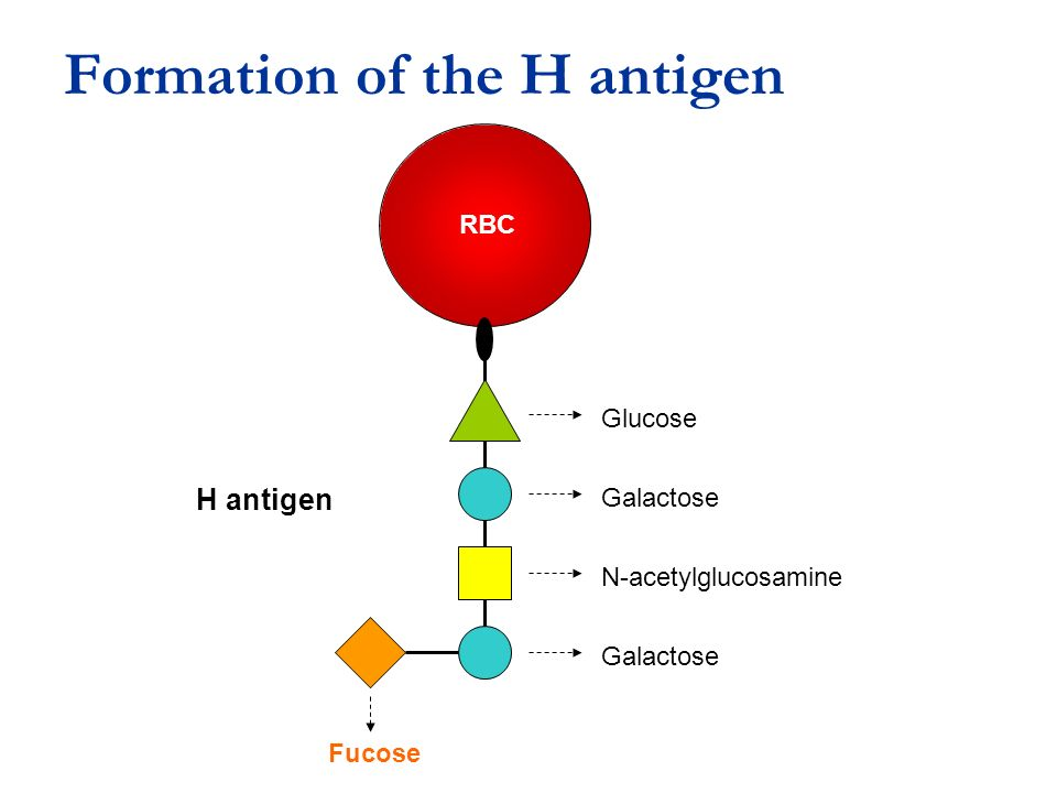 Formation of the H antigen
