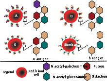 Hh antigen system - diagram showing the molecular structure of the ABO(H)  antigen system