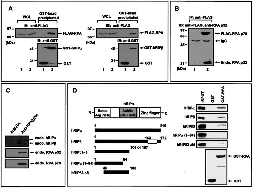 Interaction between RPA and hRIP ␤ . (A) hRIP ␣ and hRIP ␤ interact with  RPA in HEK293T cells. Cells were transiently transfected with a plasmid  encoding