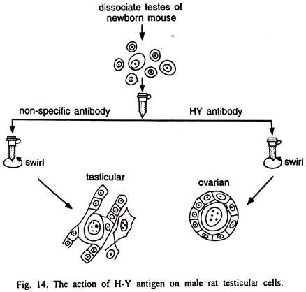 The Action of H-Y Antigen on Male Rat Testicular Cells