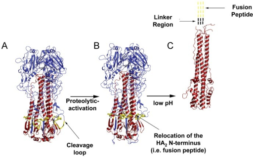 Structures of the conformations assumed by HA during the virus life  Traveller Locationimeric HA molecule
