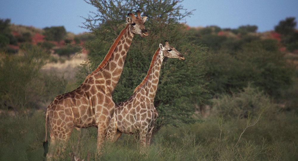 Son cuatro las especies de jirafas que habitan nuestro planeta