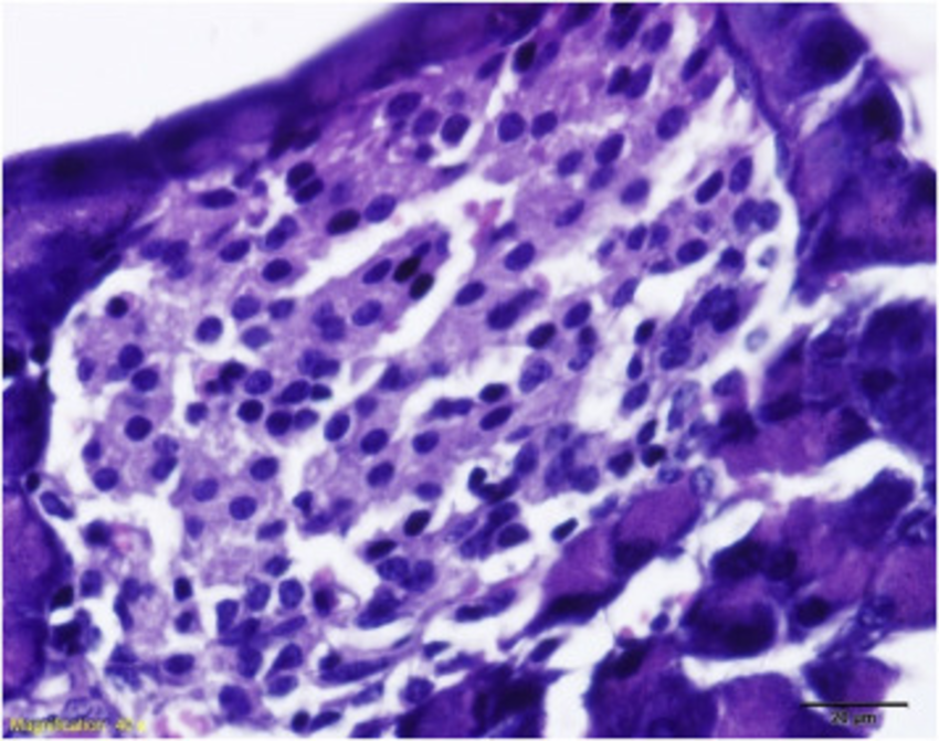 Control pancreas stained with haematoxylin eosin staining after 5 months of  feeding (400X).