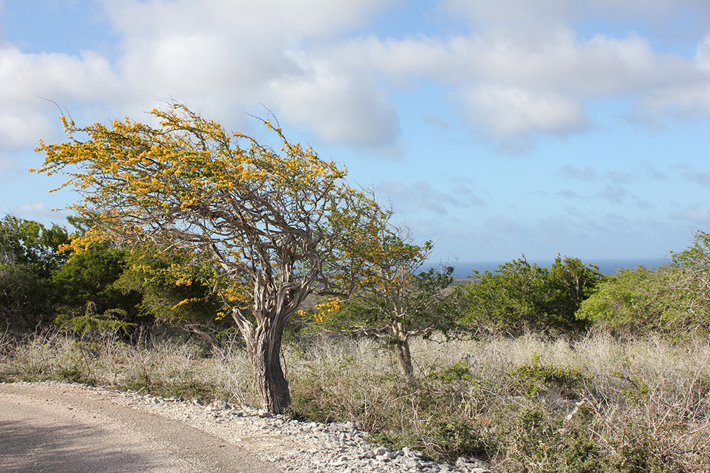 haematoxylon brasiletto tree