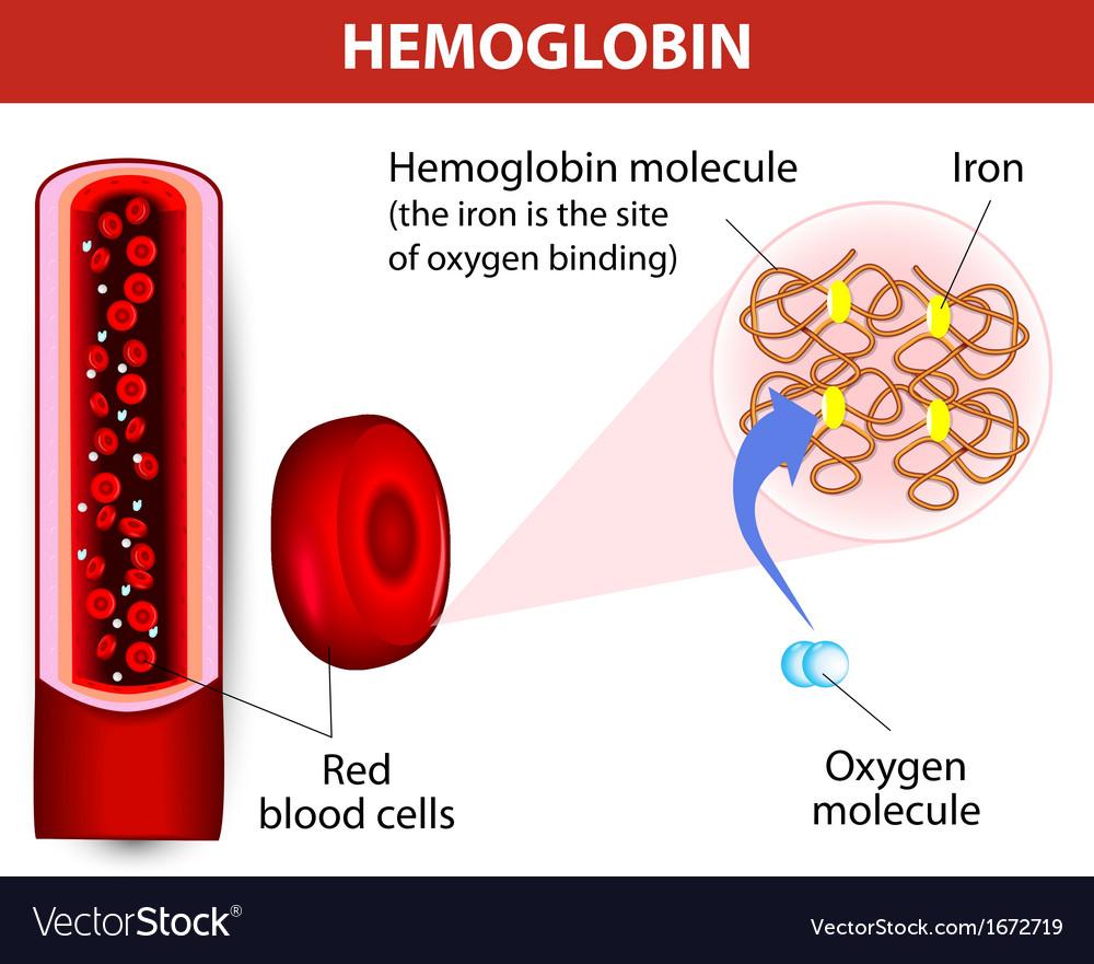 Molecule haemoglobin vector image