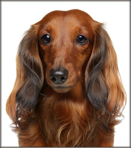 The long haired is one of the three coat varieties of the dachshund dog,  the other two are the Smooth Haired and the Wire Haired each with there own