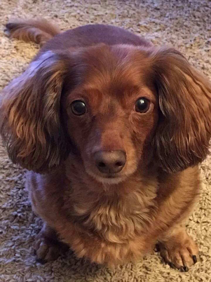 Chocolate Longhaired dachshund