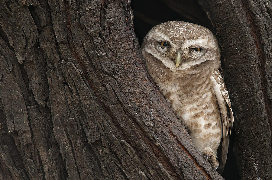 Owl Photograph - Half Awake Or Half Asleep by Masood Hussain