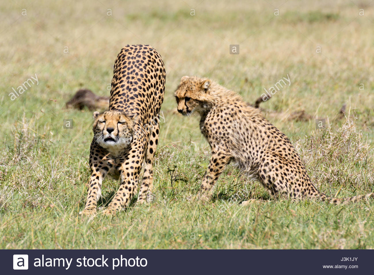 A female cheetah (Acinonyx jubatus) stretches while her half-grown cub  looks on. Ol Pejeta Conservancy, Kenya.